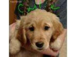 View Ad Golden Retriever Puppy For Sale Minnesota Saint Francis Usa