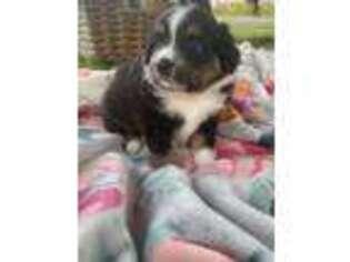 Australian Shepherd Puppy for sale in Hempstead, TX, USA