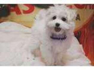 Maltese Puppy for sale in Las Vegas, NV, USA