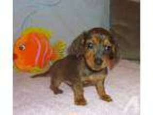 View Ad: Dachshund Puppy for Sale near Texas, BONHAM, USA  ADN