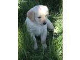 View Ad Labradoodle Puppy For Sale Virginia Bridgewater Usa