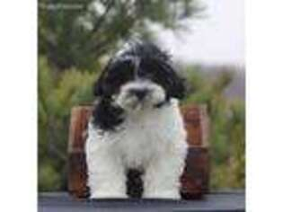 Shih-Poo Puppy for sale in Ephrata, PA, USA