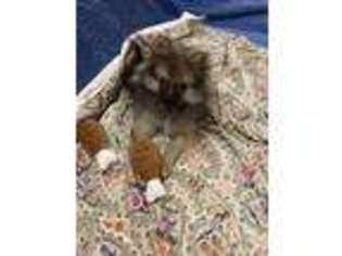 Pomeranian Puppy for sale in Champlain, NY, USA
