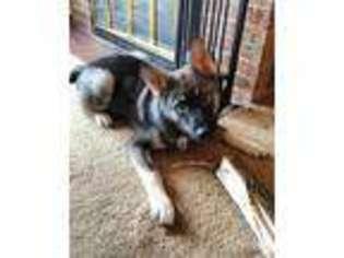Norwegian Elkhound Puppy for sale in Owosso, MI, USA