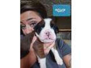 Boxer Puppy for sale in Chesapeake, OH, USA