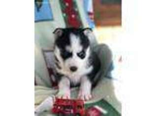 Puppyfinder Com Siberian Husky Puppies For Sale Near Me In