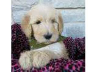 Puppyfinder com: Goldendoodle puppies puppies for sale near me in