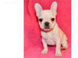 Puppyfindercom French Bulldog Puppies For Sale Near Me In Winston