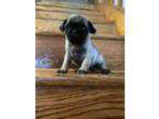 Pug Puppy for sale in Berlin, CT, USA