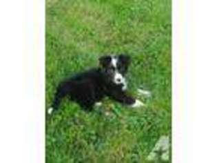 View Ad Border Collie Puppy For Sale Ohio Canton Usa