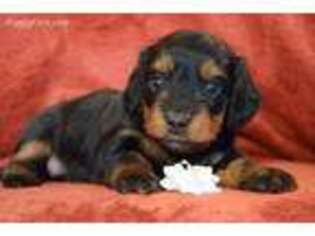 Dachshund Puppy for sale in Osage, IA, USA