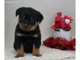 Rottweiler Puppy for sale in Nappanee, IN, USA
