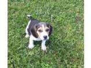 Beagle Puppy For Sale near Gentry, AR, USA