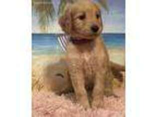 Goldendoodle Puppy for sale in Hoschton, GA, USA