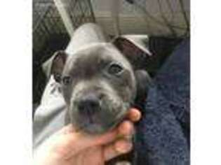Staffordshire Bull Terrier Puppy for sale in El Paso, TX, USA