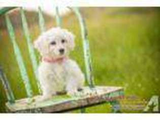 View Ad Goldendoodle Puppy For Sale Minnesota Minneapolis Usa