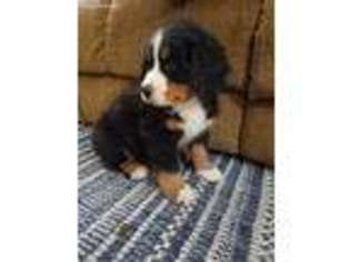 View Ad Bernese Mountain Dog Puppy For Sale Illinois Flat