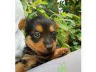 View Ad Australian Terrier Puppy For Sale Texas Austin Usa