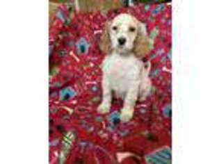 English Setter Puppy for sale in West Liberty, KY, USA