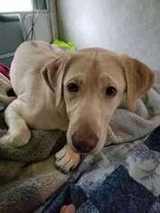 Labrador Retriever Puppy for sale in Centralia, WA, USA