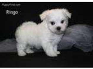 Puppyfindercom Maltese Puppies For Sale Near Me In Leon Iowa Usa