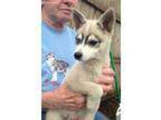 Alaskan Klee Kai Puppy For Sale in Cuyahoga Falls, OH, USA