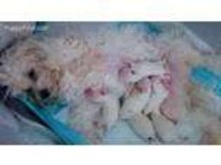 Maltipom Puppy for sale in San Jacinto, CA, USA