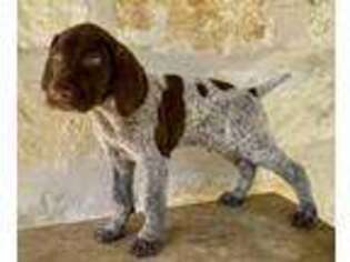 German Shorthaired Pointer Puppy for sale in Spring Branch, TX, USA