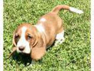 View Ad Basset Hound Puppy For Sale Ohio Urbana Usa