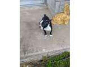 Boston Terrier Puppy for sale in Killen, AL, USA