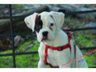 View Ad Boxer Puppy For Sale North Carolina Hickory Usa