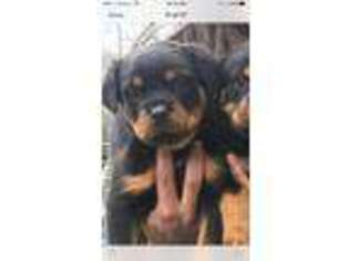 View Ad Rottweiler Puppy For Sale New York Medford Usa