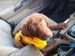 Labrador Retriever Puppy for sale in Oak Harbor, WA, USA