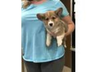 View Ad Pembroke Welsh Corgi Puppy For Sale Georgia Hinesville Usa
