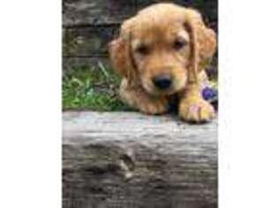 Puppyfinder com: Golden Retriever puppies puppies for sale