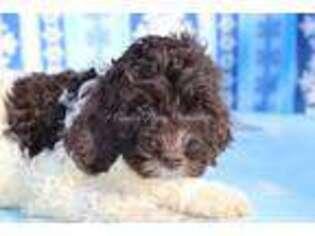 Labradoodle Puppy for sale in Bokchito, OK, USA