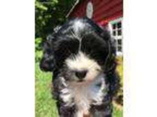 View Ad Cavapoo Puppy For Sale Near North Carolina Asheville Usa