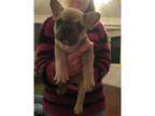 French Bulldog Puppy for sale in Lanark, Lanarkshire (Scotland), United Kingdom