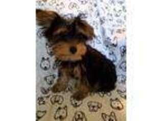 Puppyfinder com: Yorkshire Terrier puppies puppies for sale and