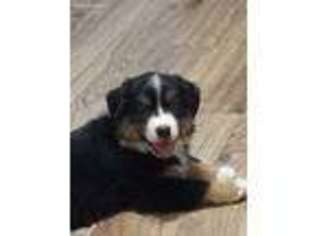 View Ad Miniature Australian Shepherd Puppy For Sale Illinois