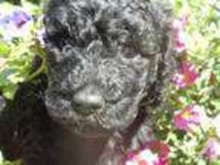 View Ad Labradoodle Puppy For Sale Near Pennsylvania