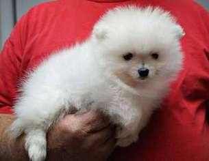 View Ad Pomeranian Puppy For Sale Georgia Atlanta Usa