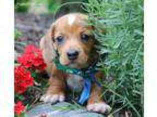 View Ad Dachshund Puppy For Sale Louisiana Ruston Usa