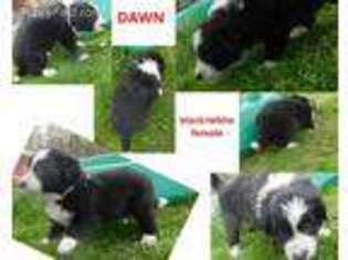 Border Collie Puppy for sale in Decatur, AR, USA