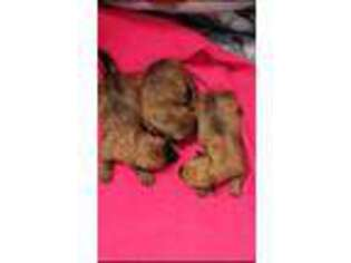 Cairn Terrier Puppy for sale in Kit Carson, CO, USA