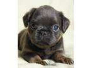 View Ad Brussels Griffon Puppy For Sale Pennsylvania Pittsburgh Usa