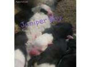 Puppyfinder com: Old English Sheepdog puppies puppies for
