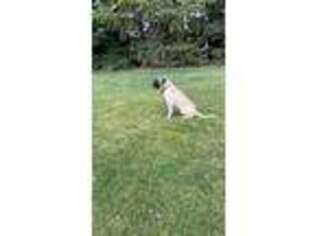 Mastiff Puppy for sale in Glenn, CA, USA