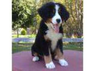 View Ad Bernese Mountain Dog Puppy For Sale Near New York