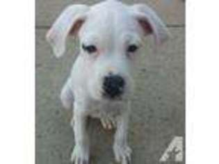 View Ad Boxer Puppy For Sale New Jersey Brick Usa